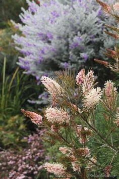Australian Garden Design, Australian Native Garden, Australian Native Flowers, Australian Plants, Australian Wildflowers, Maryland, Cottage Garden Plants, Cottage Gardens, Farm Cottage