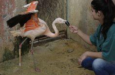Na cidade de #Sorocaba, um #flamingo que perdeu a perna recebeu uma prótese para recuperar os movimentos. Foto Nelson Antoine/Associated Press.