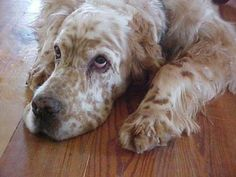 English Setter | I was here first...