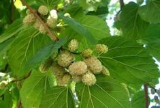 4b3c0b1d-8235-4d53-bc8c-e27d4cae6224 Mulberry Fruit, Mulberry Bush, Mulberry Tree, Types Of Fruit, Beautiful Flowers Wallpapers, Edible Plants, Plantation, Planting Seeds, Fruit Trees