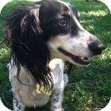 Houston, TX - Dachshund. Meet Tristan Tomkins, a dog for adoption. http://www.adoptapet.com/pet/9947783-houston-texas-dachshund