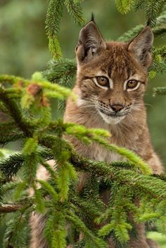 Young lynx.