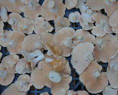 Le pied de mouton (Hydnum repandum) -  champignon comestible !