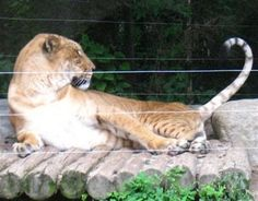 Liger in Korea Playing with its Tail at a Yongin Zoo South Korea.