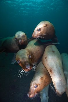 Canada, British Columbia, Hornby Island, Underwater view of Steller's Sea Lions (Eumetopias jubatus) swimming by Paul Souders Underwater Photography, Animal Photography, British Columbia, Beautiful Creatures, Animals Beautiful, Rocky Mountains, Alaska, Vancouver, Fauna Marina