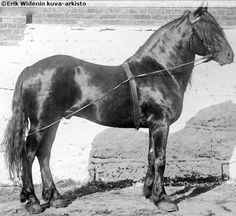 Dole stallion Nordvi (b. 1895). Dole, Gudbrandsdal or Dølahest is from Gudbrandsdal area, Norway. Its ancestors are probably Friesians, as they share same conformation characteristics as this photo shows. Other horses have been used for creating a quite small, agile but still powerful draft and pack animal. Dole trotter was created later by crossing Doles with lighter breeds with trotting ability. Black and bay are common colors but can be also chestnut, gray, palomino or buckskin