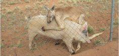 En Australia, canguro y cerdita se hacen algo más que amigos - http://www.absolutaustralia.com/en-australia-canguro-y-cerdita-se-hacen-algo-mas-que-amigos/