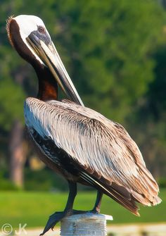 Pelican at Hilton Head Island, SC.