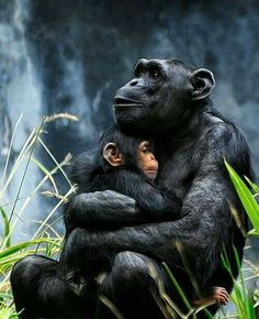 Chimpanzee mother cuddling her baby. Genetically we are chimp, but only if you exclude of our genetic material from the study and of theirs. Primates, Mammals, Nature Animals, Animals And Pets, Cute Animals, Beautiful Creatures, Animals Beautiful, Tier Fotos, My Animal