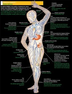 Body Anatomy, Human Anatomy, Ayurveda, Lymph Fluid, Lymphatic Massage, Nursing School Notes, Medical Anatomy, Ayurvedic Medicine, Water Element
