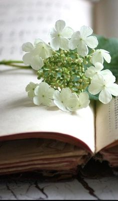 hydrangea blossoms on a book White Flowers, Beautiful Flowers, White Hydrangeas, Cut Flowers, Hortensia Hydrangea, Vibeke Design, Book Flowers, Book Letters, White Gardens