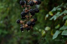 Rainy day blackberries
