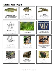 Here's a series of picture cards and an activity for creating a pond food web.