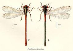 Ceriagrion tenellum - Pyrrhosoma tenellum - Palaeobasis tenellum.