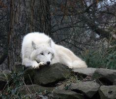Arctic Tundra Wolf... beautiful
