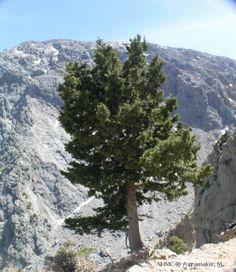 Wild Cypress, Cupressus sempervirens f. Cupressus Sempervirens, Places In Europe, Photo Archive, Crete, Museum, Island, Garden, Plants, Outdoor