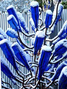 Blue bottle tree in winter.