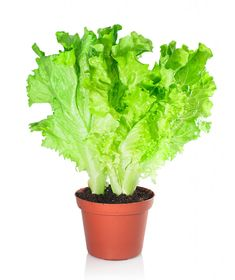 Lettuce in a pot isolated on a white background. Grow your own lettuce bowl indoors (Saving Dinner.com)