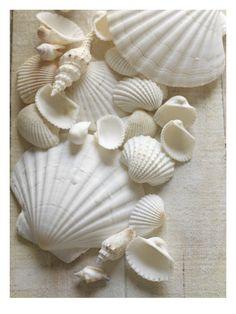 white seashells
