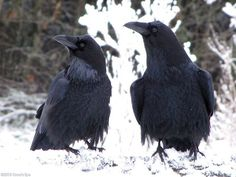 Meet Mr. And Mrs. Raven by DeForestRanger, via Flickr