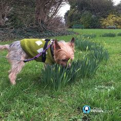 ...and the lovely Tio - sniffing the early daffodils!  #opctio #albertcollegepark #yorkie #dogs #olliespetcare