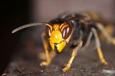 Un apiculteur a mis au point un dispositif astucieux capable de mettre ce redoutable dévoreur d'abeilles hors d'état de nuire. Son principe est simple: capturer les jeunes reines avant qu'elles ne fondent une nouvelle colonie.