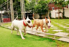 #BullTerrier #Dog #Freddy #Narong