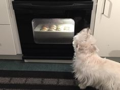 Yeah I smell them! One of those cookies better be for me humans. Hope all of my friends had a wonderful Saturday; for my east coast friends please stay safe and warm. (Jan. 23 2016) #westie #westhighlandwhiteterrier #westielove #westielife #westiegram #westietude #westiesofinstagram #dogs #dogoftheday #dogsofinstagram #doglovers #instagram #dogloversofinstagram #isabella #dogsofinstaworld #ilovemydog #pictureofheday #dogsareawesome #mydogisawesome #scottiesandwesties #proudwesties…