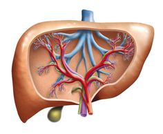 Liver Damage Caused by Alcohol May be Prevented by Cannabidiol: Study Suggests