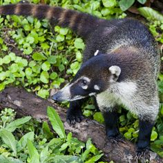 White-nosed Coati (Coatimundi, Kudamundi) - They inhabit wooded areas (dry and moist forests) of the Americas. They are omnivores, preferring small vertebrates, fruits, carrion, insects, and eggs. They can climb trees easily, where the tail is used for balance, but they are most often on the ground foraging.