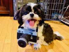 Quality ShihTzu for quality homes for Pets and Therapy dogs. We offer LIFETIME advice for your Glory Ridge ShihTzu. Imperial shihtzu to standard size shihtzu in every color. Therapy Dogs, Puppy Pictures, Shih Tzu, Mochi, Missouri, Puppies, Pets, Animals, Dog Baby
