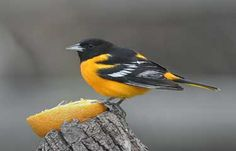 I was so excited to see an oriole in my front yard today!  Here's an article on attracting them