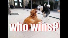 Husky VS Golden
