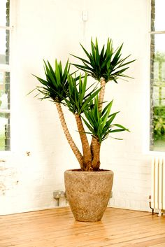 Yucca - Plants, Structural and Architectural Plants - Ross Evans Garden Centre Yucca Plant Indoor, Indoor Tropical Plants, Tropical Landscaping, Plant Care, Green Plants, Potted Plants, Yucca Tree, Architectural Plants, Walled Garden