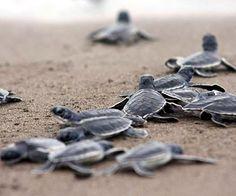 En Cozumel liberan 165 mil 198 crías de tortuga marina este año