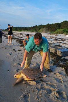 New England Aquarium rescue biologist Adam Kennedy releases 80-pound Juggernaut, a rehabilitated loggerhead sea turtle on Sunday, June 10, 2012, in Machipongo, Va. The turtle spent the last six months at the aquarium's Animal Care Center at the Quincy shipyard. Connie Merigo photo