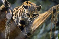 IlPost - Un esemplare di gatto tigre nello zoo di Santa Cruz a San Antonio del Tequendama, in Colombia (LUIS ACOSTA/AFP/Getty Images) - Un esemplare di gatto tigre nello zoo di Santa Cruz a San Antonio del Tequendama, in Colombia (LUIS ACOSTA/AFP/Getty Images)