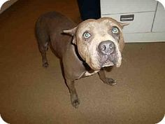 Phx, Az.     Breed:    American Pit Bull Terrier    Color:    Unknown    Age:    Adult        Size:    Large 61-100 lbs (28-45 kg)    Sex:    Female     ID#:    5220631-A420144      I am already spayed and purebred.    CHEWLIE's Story...   COMPATIBILITY:  -My energy level may be a ...