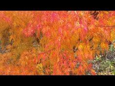 Acer palmatum Seiryu - YouTube