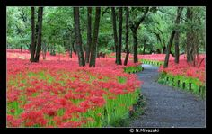 Red Spider Lilies...heaven