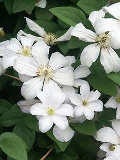 """Huldine"" Clematis July to October, 10 to 15  Ft, group 3. Good in shade.  Plant two kinds together!"