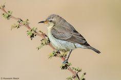 Palestine Sunbird  - Female