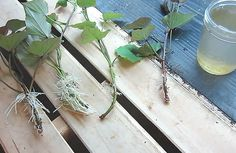 Ako vypestovať sladké zemiaky | pestovanie.eu Fruit Garden, Arrow Necklace, Plants, Orchards, Plant, Planets