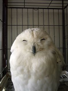 squinty owl