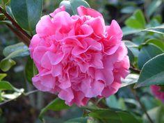 "Camellia x williamsii ""Debbie"""