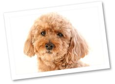 Toy Poodle: Originating in Central Europe during the 1500s this toy dog was used as a lapdog and companion. These small and devoted dogs are one of the easiest breeds to train.