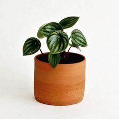 Move over monstera these are the 5 next big indoor plants - House Plants - ideas of House Plants - Watermelon peperomia (peperomia argyreia) Big Leaf Plants, Big Indoor Plants, Cool Plants, Green Plants, Hanging Plants, Plant Leaves, Shade Plants, Potted Plants, Cactus Plants