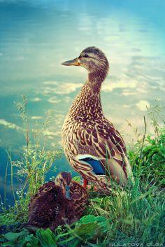 The mother never sleeps | water, cub, bird, grass, duck