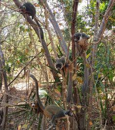 Lémuriens  . . . . . . #malagasy #mada #madagascar #animal #wildanimal #igersmadagascar #igersmada #wild #nature #wildnature #mahajunga #majunga #lovingnature #lovelynature