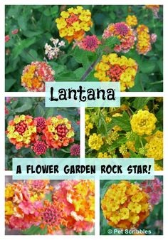 Lantana: A flower garden rock star! - Why is Lantana a flower garden rock star? Non-stop blooming time, easy-care flowers, and the color combinations are amazing! Learn more and plant your own! Summer Flowers, Colorful Flowers, Beautiful Flowers, Fall Flowers, Exotic Flowers, Purple Flowers, White Flowers, Garden Care, Lantana Plant